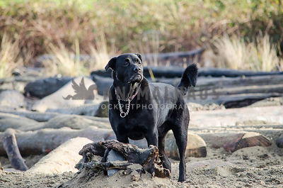 A muscular Cane Corso proudly poses at the beach