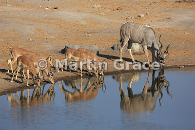 Single Greater Kudu (Tragelaphus strepsiceros) with Black-Faced Impala (Aepyceros melampus petersi) drinking from Chudob wate...