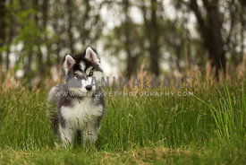 husky puppy standing in tall grass