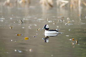 February - Bufflehead (male)
