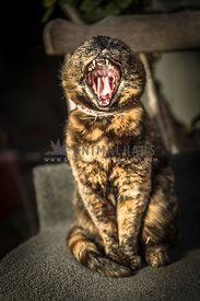 Brindle cat sitting on a chair and yawning