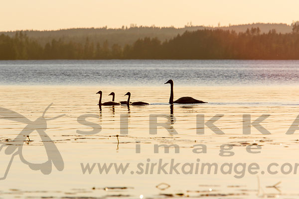 Whooper Swan Family eating billberrys