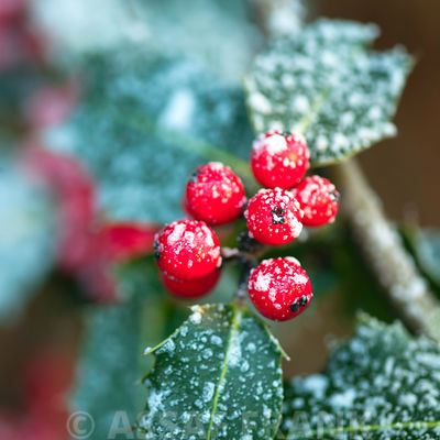 Holly with berries in frost