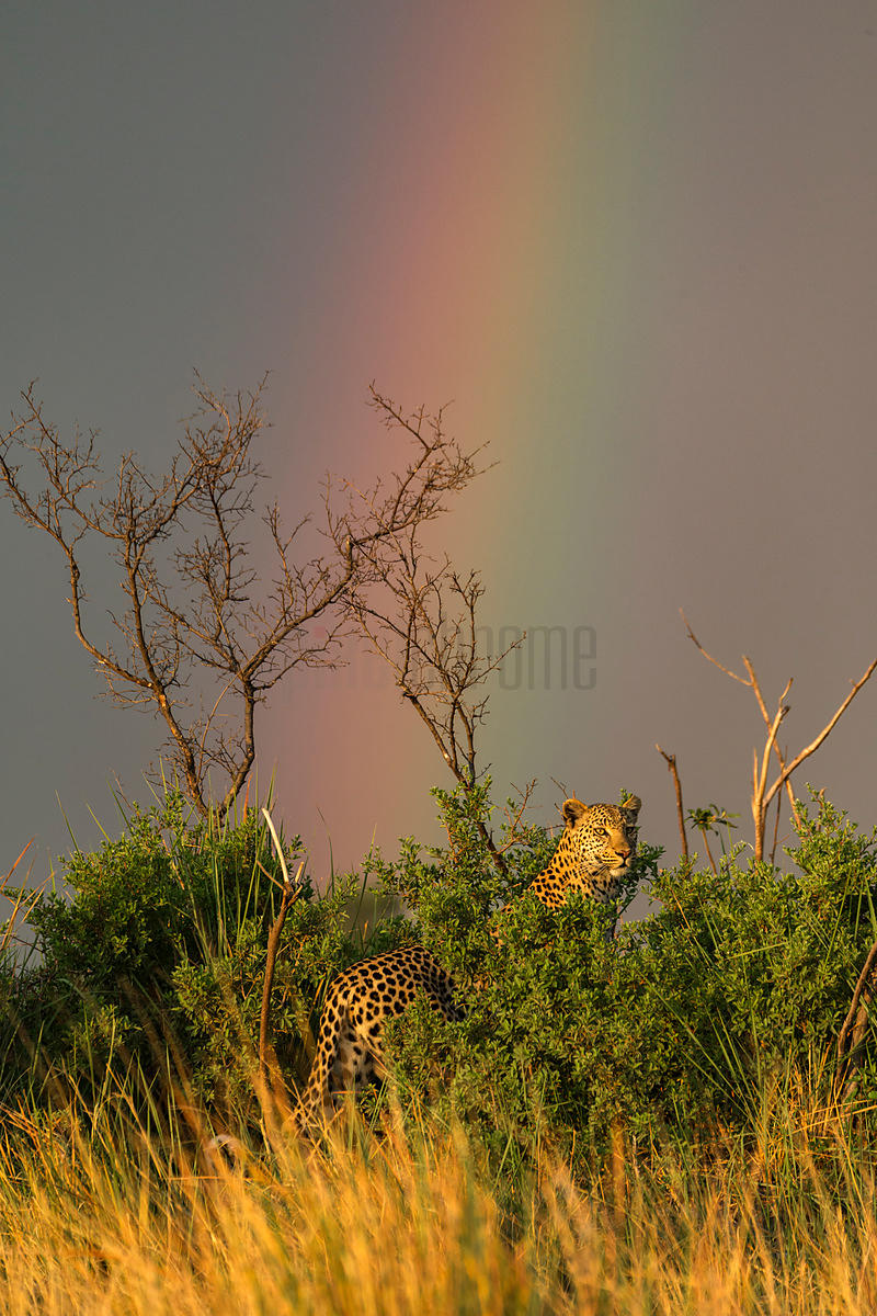 Female Leopard and Rainbow at Sunrise