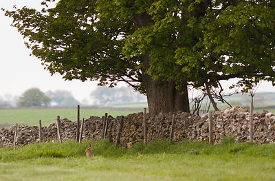 Hare under tree near Foolow
