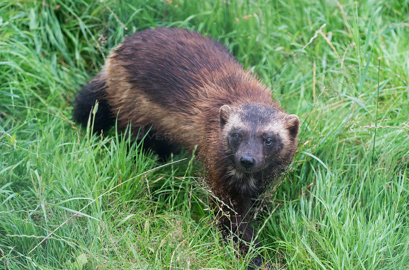 Wolverine (Gulo gulo) in long grass, Animal Park, Hann-Munden, Lower Saxony, Germany. Captive, occurs throughout the boreal z...