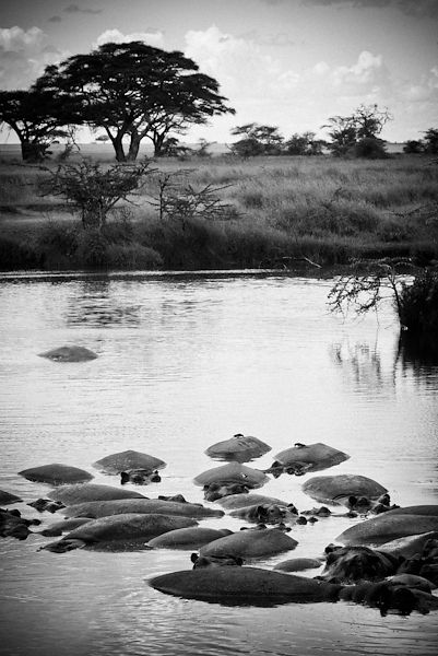 4591-Herd_of_hippos_in_the_river_Laurent_Baheux