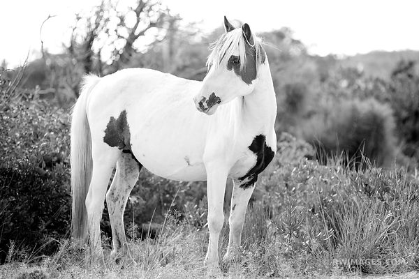 WILD PONY HORSE ASSATEAGUE NATIONAL SEASHORE MARYLAND BLACK AND WHITE