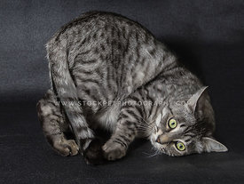 grey tabby cat rolling over trying to catch his tail