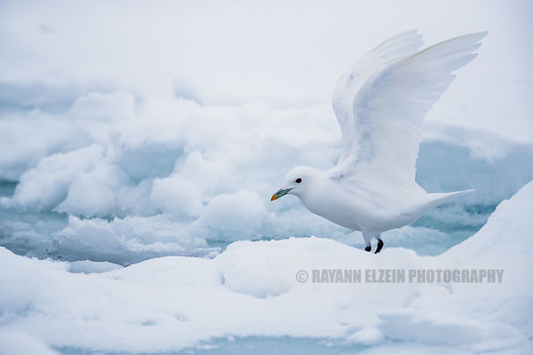 Ivory gull taking off