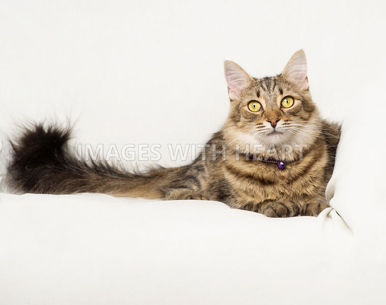 Beautiful brown tabby cat lying on couch