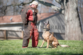 angry malinois barking at caucasion man in bite suit