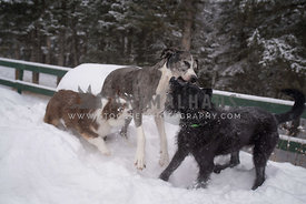 3 dogs playing in snow with lots of teeth