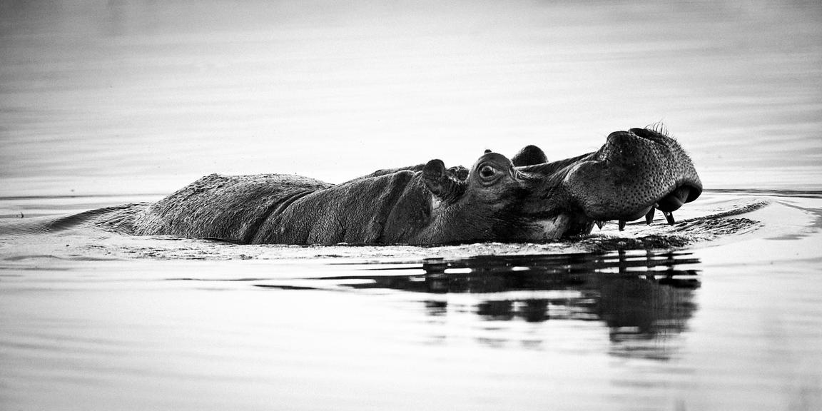 5710-Hippo_crossing_the_river_Laurent_Baheux