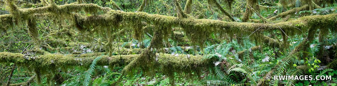 HOH RAINFOREST PACIFIC NORTHWEST FOREST PANORAMIC FOREST