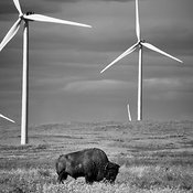 Bison grazing wind farm