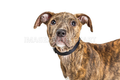 Closeup Face of Young Brindle Puppy on White