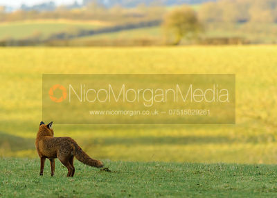 A red fox (Vulpes Vulpes) admires the view towards Knossington