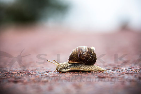 Escargot crossing the street next to the Kastelholm Castle