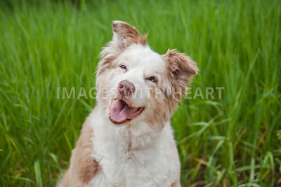 Dog Close Up Sitting in Tall Green Grass