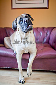 english mastiff sitting on purple couch