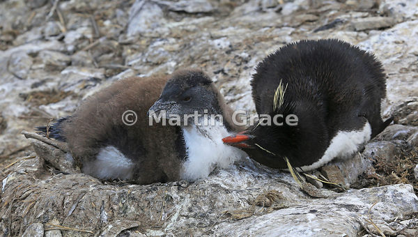 Young Southern Rockhopper Penguin (Eudyptes chrysocome chrysocome) on the nest, being groomed by one of its parents, Sea Lion...