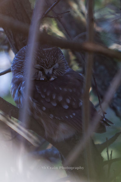 Jody and I got our first ever peek at a Northern Saw-whet Owl. These little guys like to hide back in thickets and in the middle of trees.