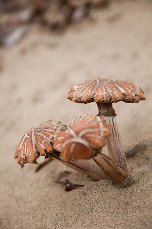 A cluster of sand dune mushrooms on a California beach