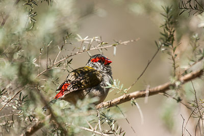 Red-browned Finches