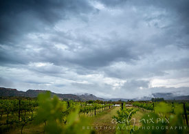 Rows of vines in a vineyard with mist covered mountains in the distance under a dark, stormy, cloud-filled sky.