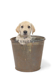Yellow lab puppy in bucket on white background
