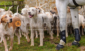 Cottesmore hounds at the meet - The Cottesmore Hunt at Tilton on the Hill, 9-11-13