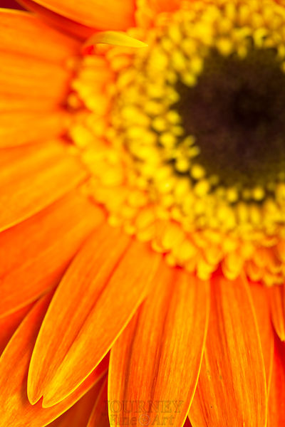 Orange Daisy Petal