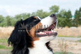 young bernese mountain dog looking up and away from camera relaxed panting
