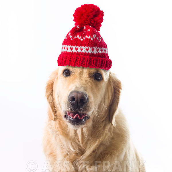 Golden Retriever with wooly hat