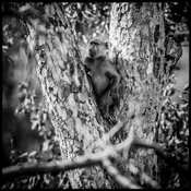 5709-Baboon_on_a_tree_Laurent_Baheux
