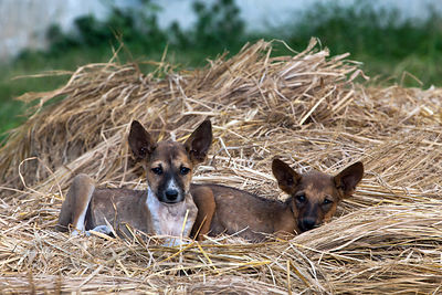 Stray dogs lay on piles of hay on a small urban farm in Bowbazar, Kolkata, India.