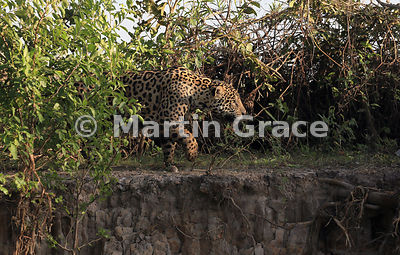 Male Jaguar (Panthera onca) known as Marley making his way along the bank of River Cuiabá, Northern Pantanal, Mato Grosso, Br...