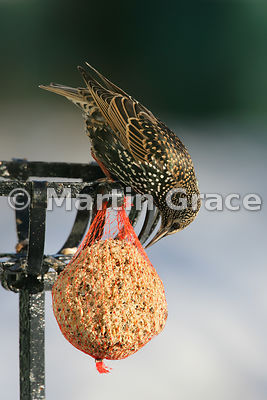 Starling (Sturnus vulgaris) feeding on a fat ball in a Cumbrian garden with the sun shining on its iridescent plumage, Lyth V...