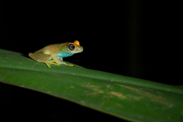 Green Bright-Eyed Frog seen on the roadside near Andasibe village