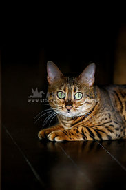 Bengal kitten with green eyes lying on wooden floor looking at camera
