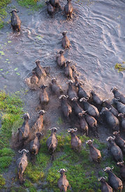 Cape Buffalo (Syncerus caffer) aerial view of herd crossing a water channel in the Okavango Delta swamp, Botswana