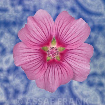 Close-up of pink Lavatera Flower on patterned background