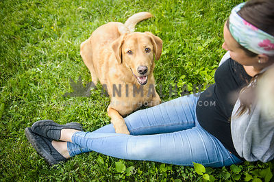 Yellow Lab with pregnant woman