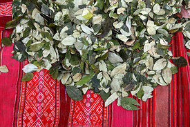 Coca leaves ( Erythroxylum coca ) on textile in market , La Paz , Bolivia