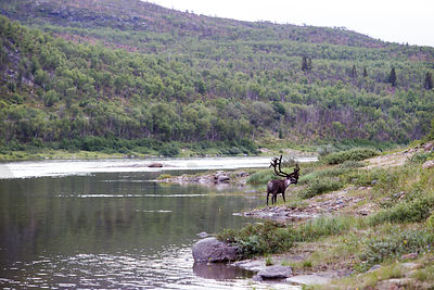 Male reindeer on border between Finland and Norway
