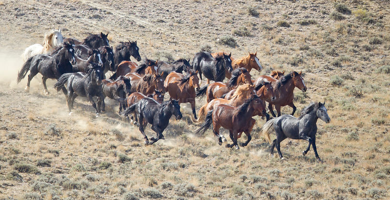 Aerial view of Wild horses / Mustangs, stallion, mares and foals during round up with helicopter, Antelope Hills Herd Area, W...
