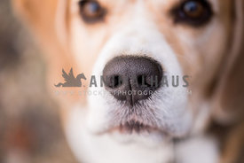 Close up Makro of Beagle dogs nose