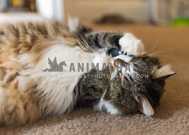 cat holding onto a toy mouse