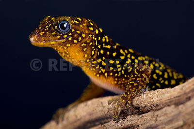 Annulated gecko (Gonatodes annularis)